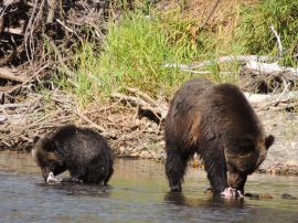 grizzly bear and cub on bear viewing tour with Kynoch Adventures in Bella Coola BC
