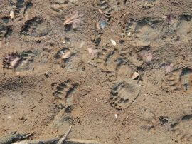 bear tracks on bear viewing and ecorafting tour on river