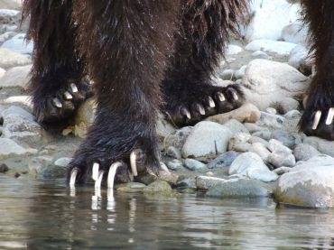 grizzly bear atnarko river kynoch tours