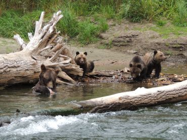 grizzly bear bella coola kynoch adventure bear watching tour