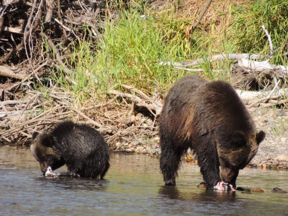 Grizzly bear and cub on Atnarko River