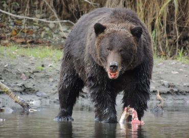 grizzly bear eating wild Pacific salmon on Atnarko river bear tour Kynoch Adventures