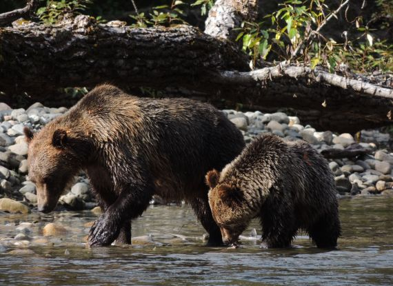 Grizzly Bear tour Kynoch Adventures Bella Coola BC