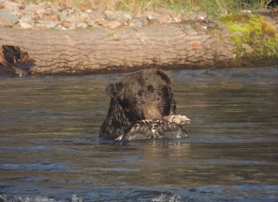 Grizzly bear with salmon Bella Coola Atnako River